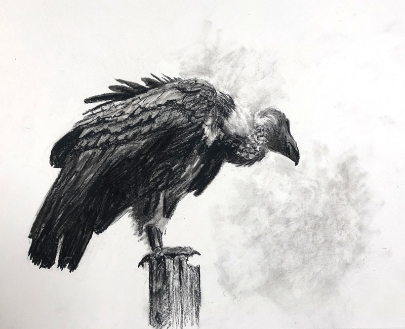 Charcoal drawing of a Vulture