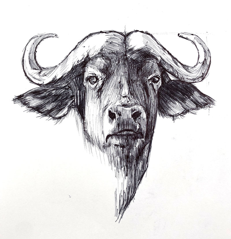 Ball point pen drawing of a Cape Buffalo