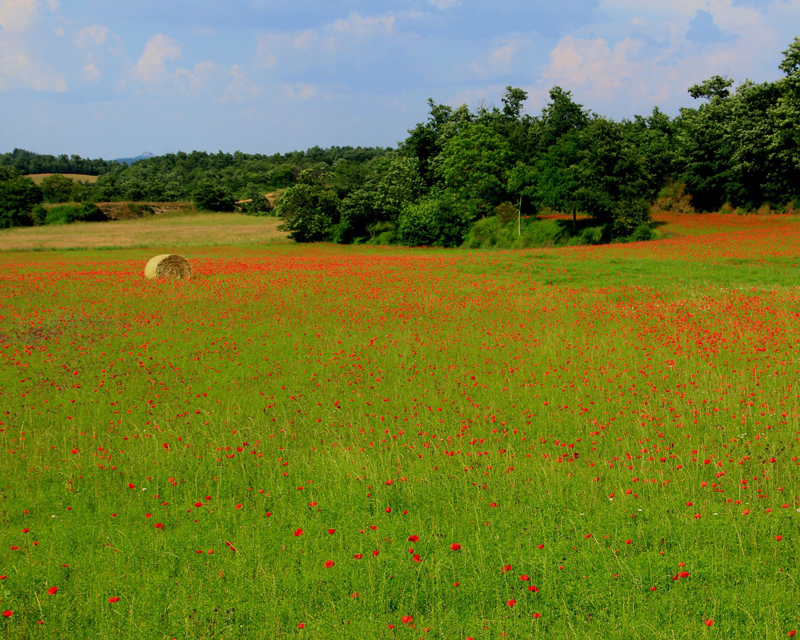 Field of red flowers photo reference