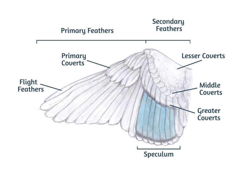 Spread wings of a bird