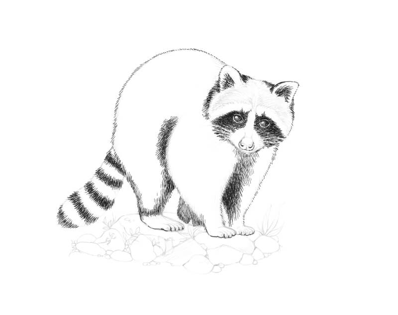 Making the darker areas on the raccoon with pen and ink