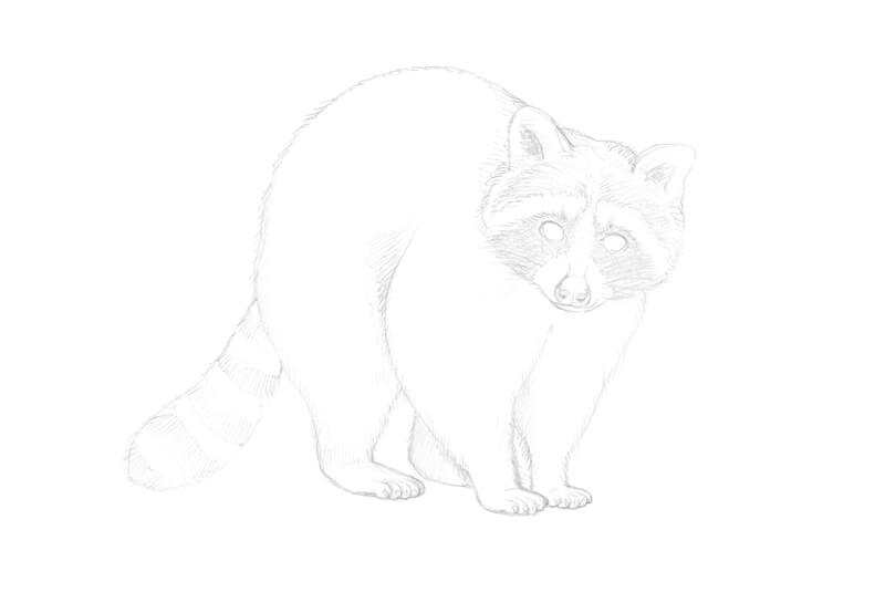 Drawing contour lines on the body of the raccoon with pencil