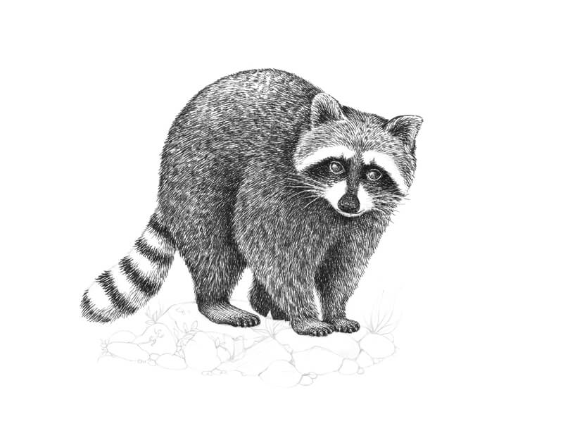 Drawing the claws of the raccoon