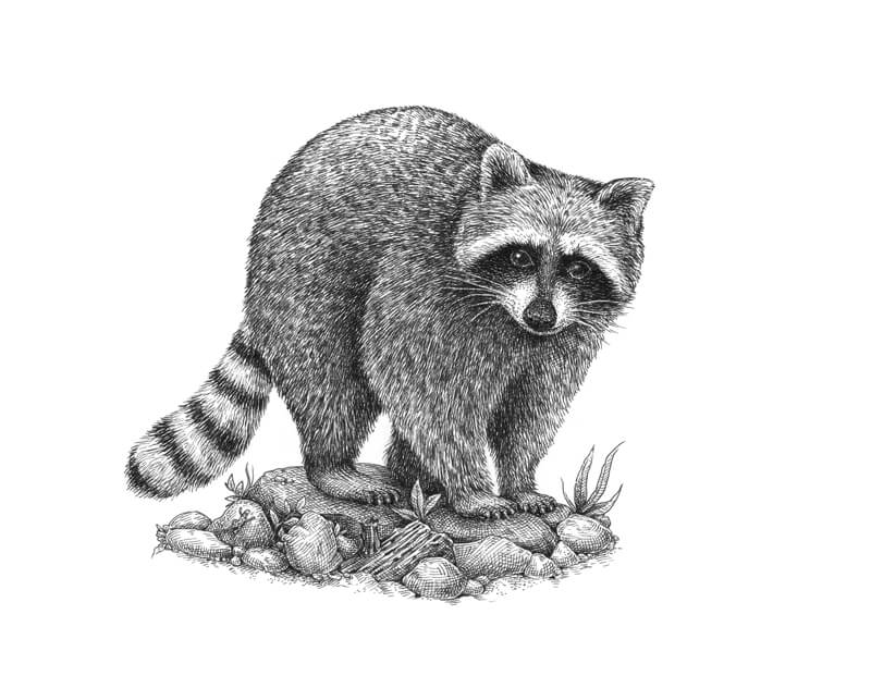 Pen and ink drawing of a raccoon