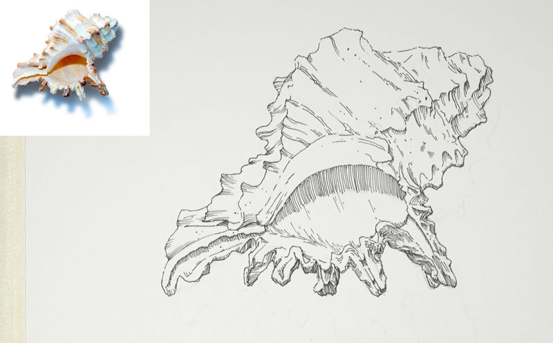 Pen and Ink drawing of a seashell