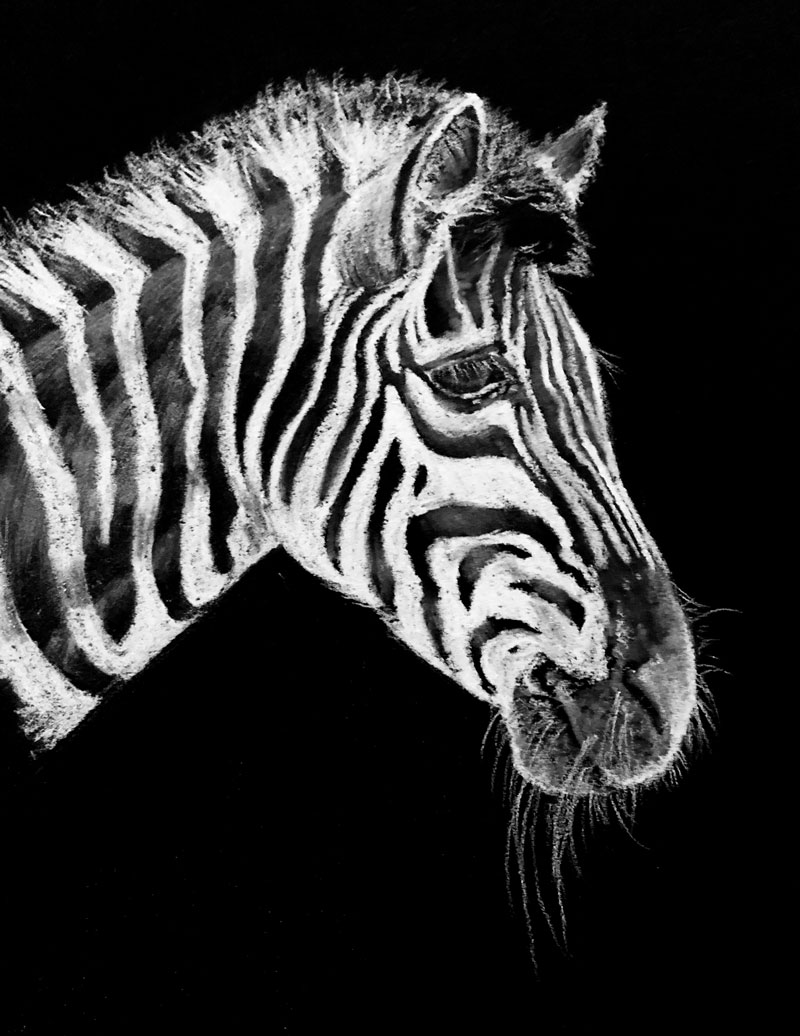Drawing of a Zebra with white charcoal on black paper