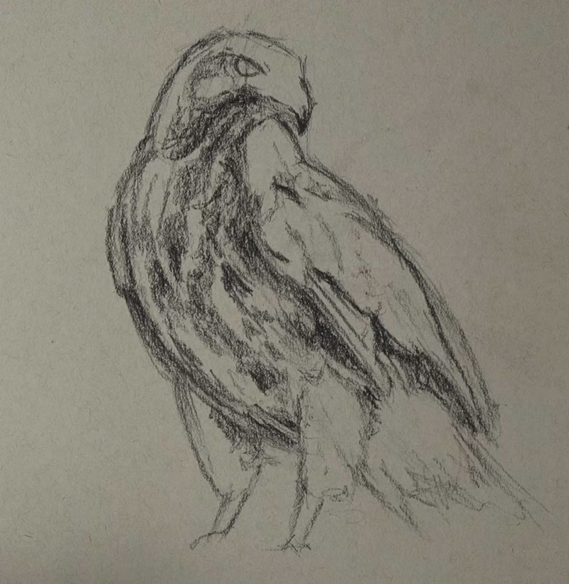 Drawing the shape and body of the hawk with black charcoal