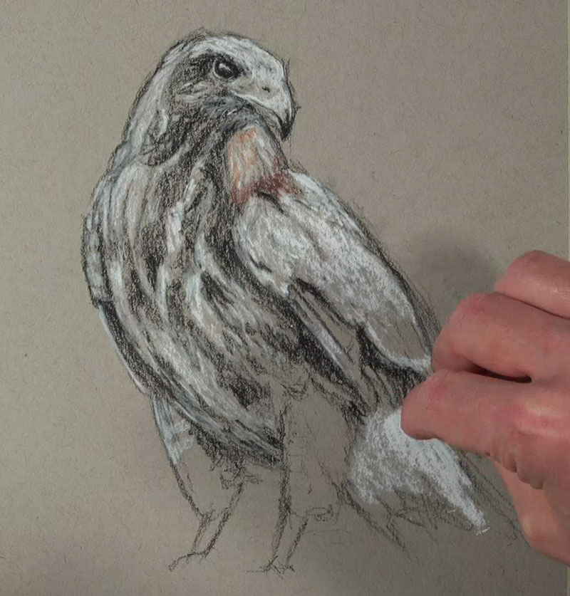 Drawing highlights on the body of the hawk with white charcoal