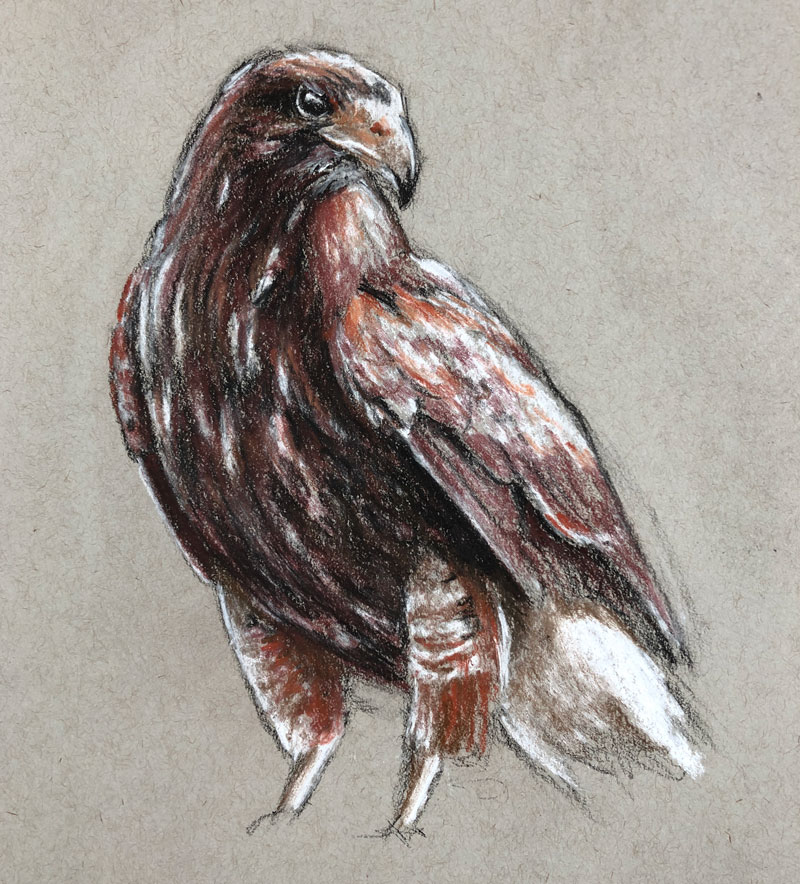 Drawing of a hawk with sepia toned pastels and charcoal