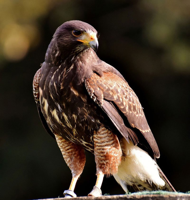 Photo reference of hawk