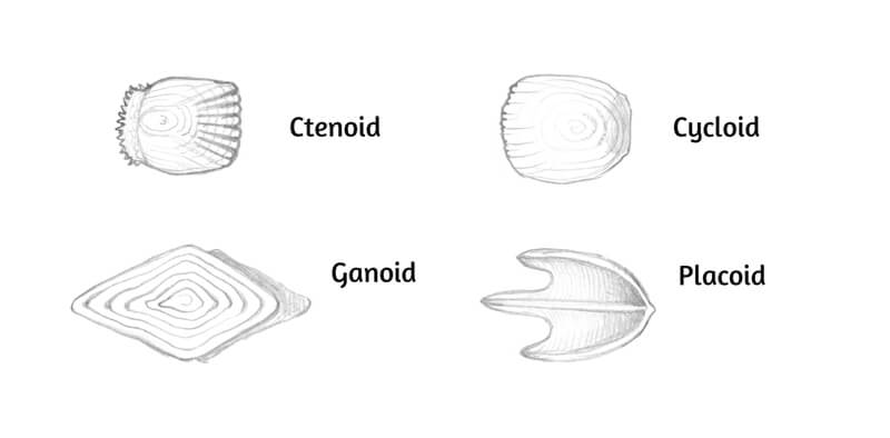 Additional drawings of fish scales