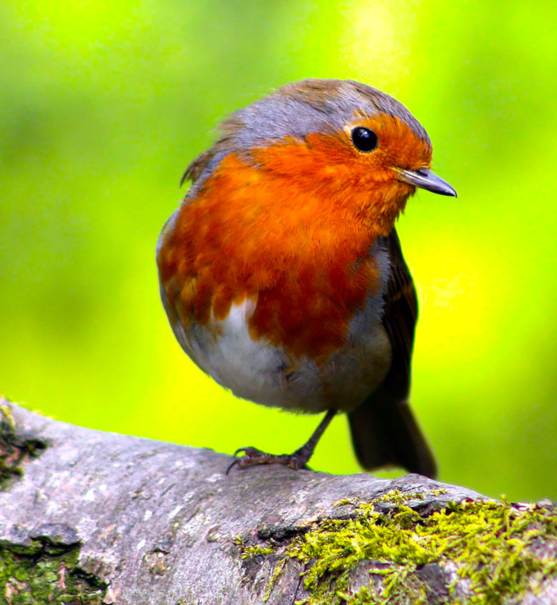 European Robin Photo reference