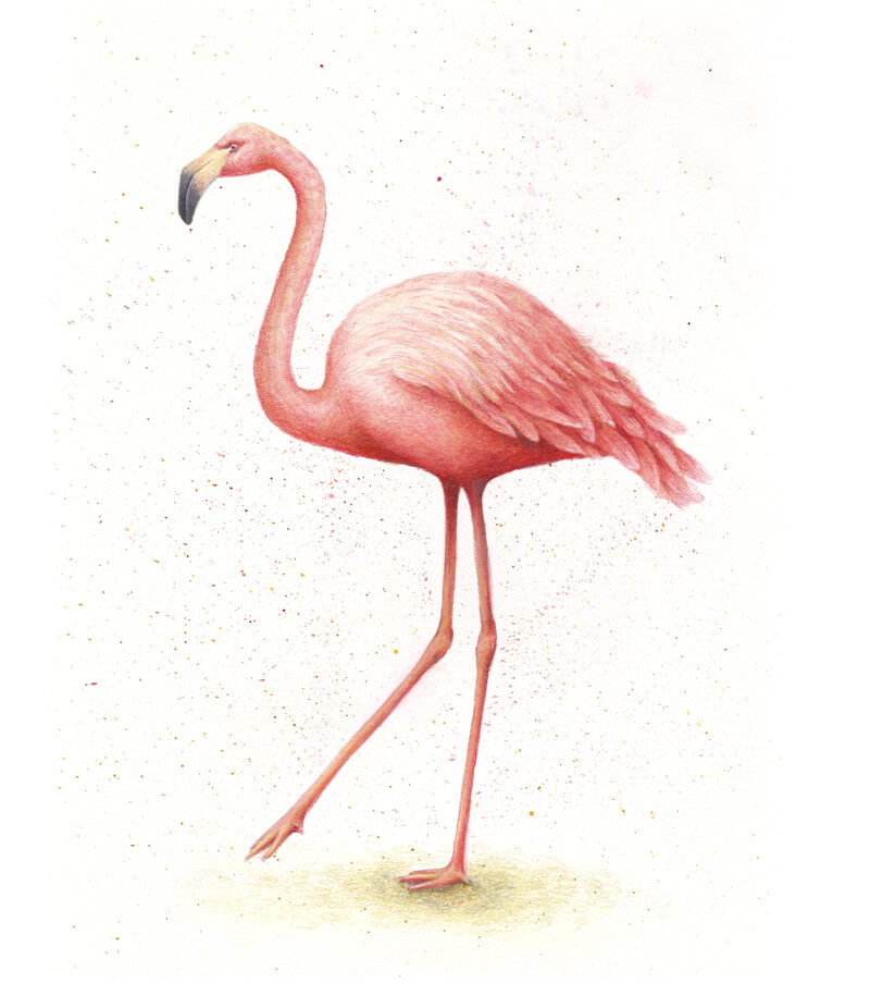 Flamingo drawing with watercolor and colored pencils