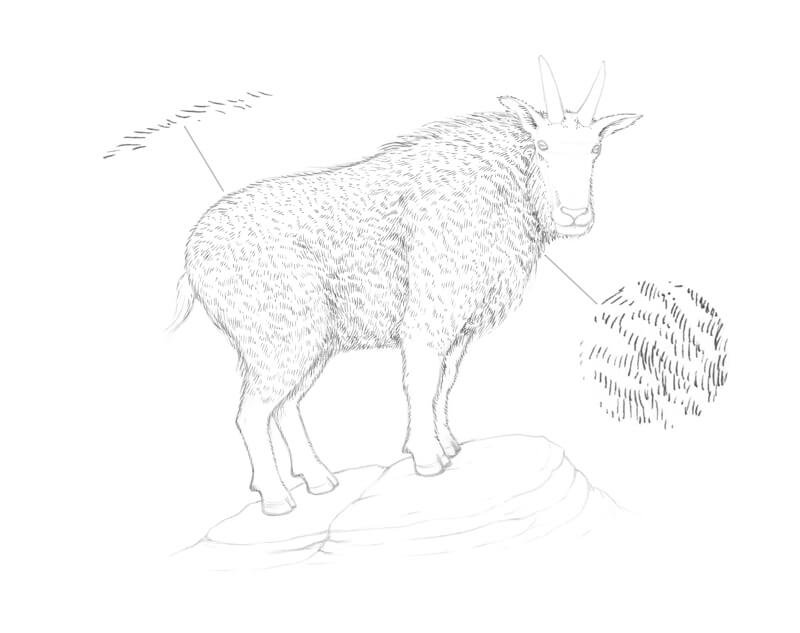 Drawing the texture of goat fur with pen and ink