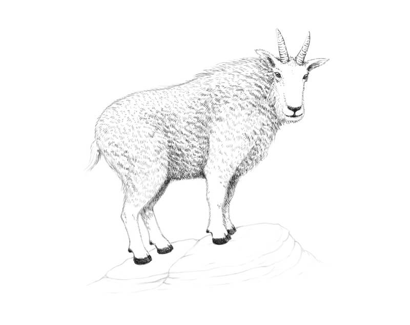 Drawing contour lines on the body of the goat