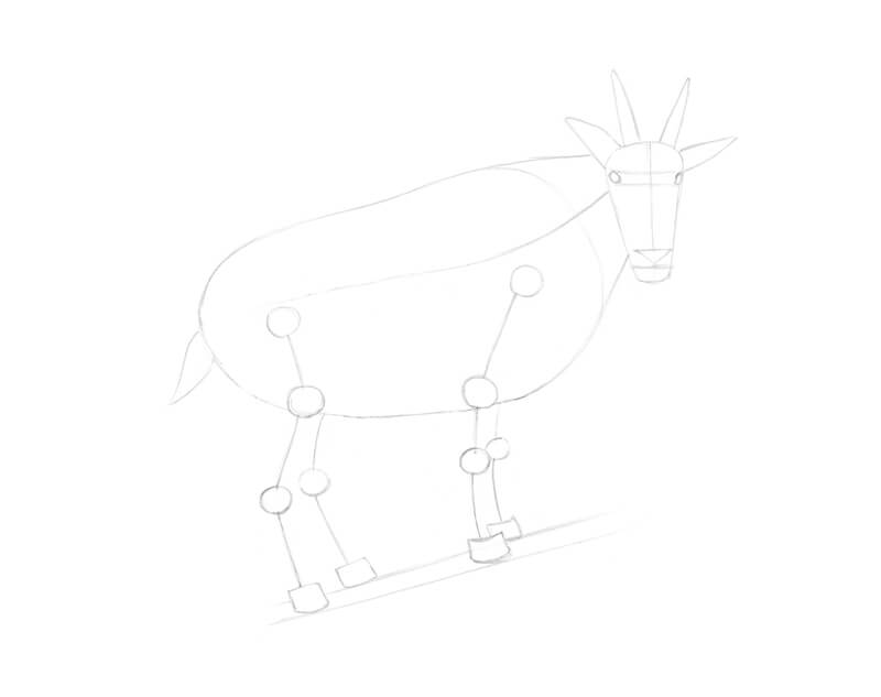 Drawing the limbs of the goat
