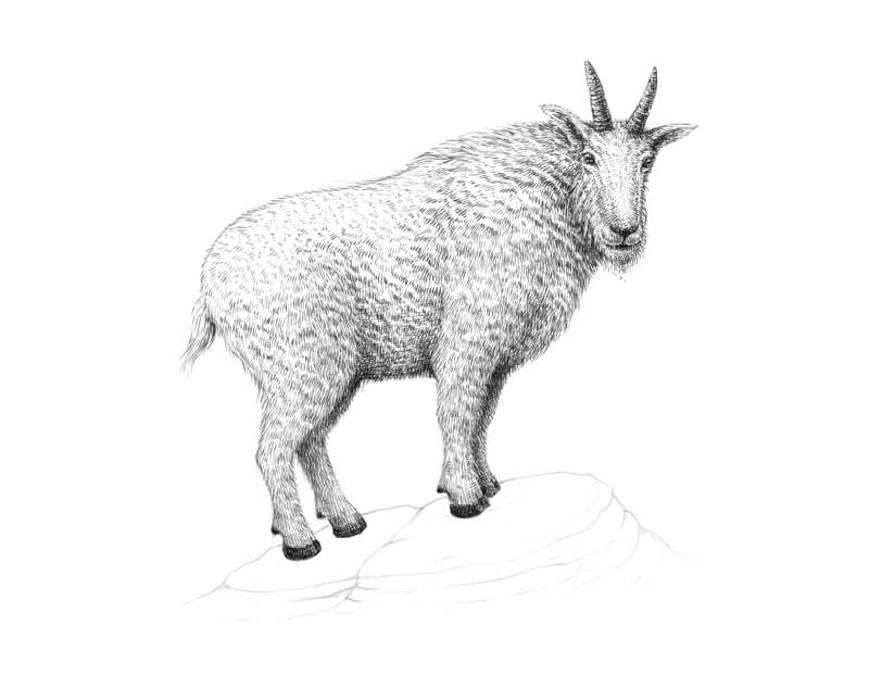Adding pen and ink applications to the limbs of the goat
