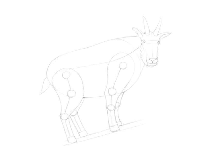 Refining the drawing of the head of the goat
