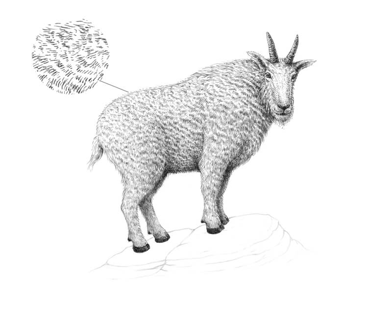 Developing values on the goat fur with pen and ink