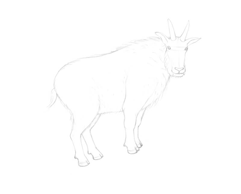 Refining the drawing of the limbs of the goat