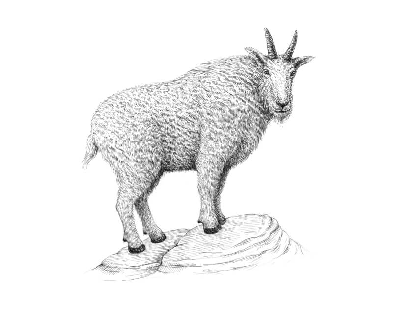 Drawing rocks under the goat with pen and ink