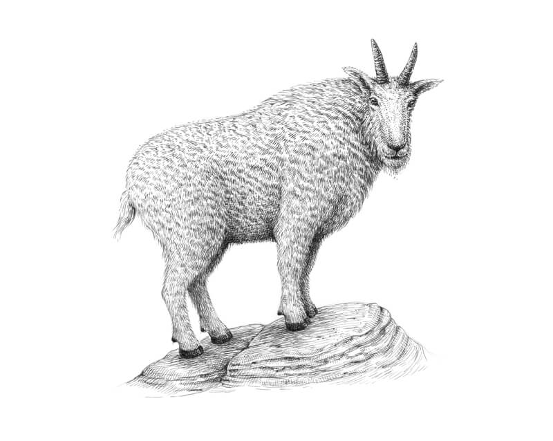 Drawing of a goat with pen and ink