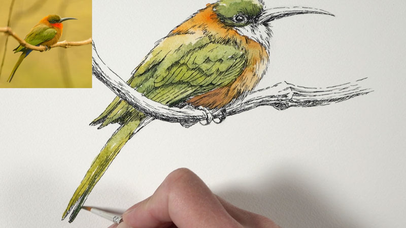 Painting the body feathers and long feathers with watercolor