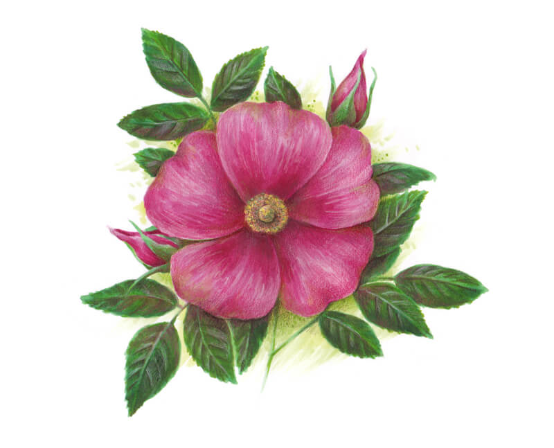 Drawing of a wild rose with markers and colored pencils