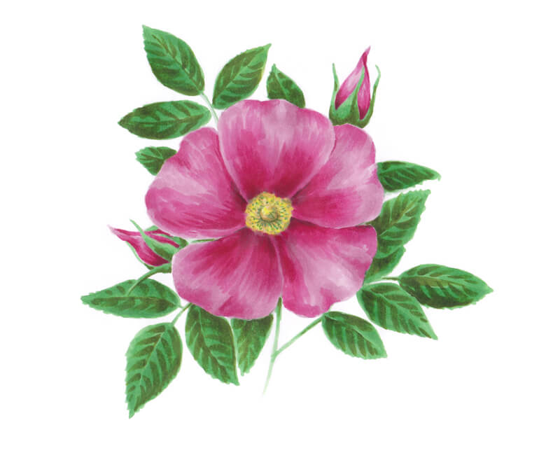 Accenting colors with markers on the wild rose