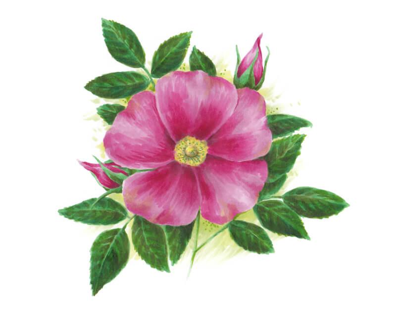 Adding colors around the wild rose