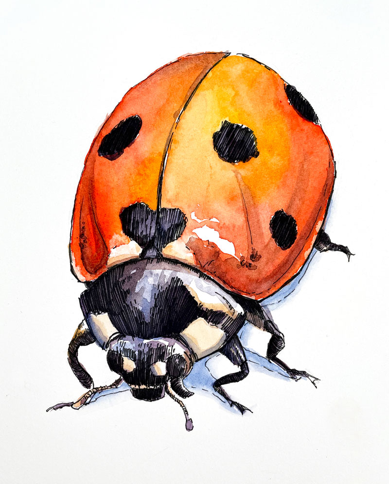 Watercolor and pen and ink drawing of a ladybug