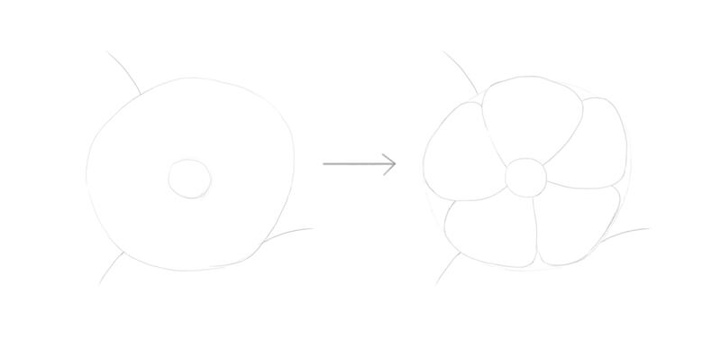 Drawing the framework of the wild rose