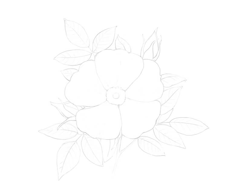 Contour line drawing of a wild rose