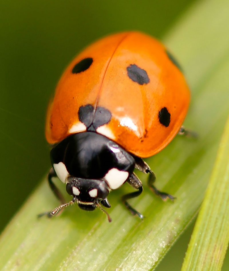 Photo reference of ladybug for drawing exercise