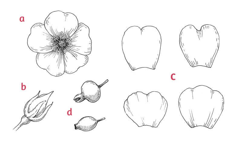 Parts of a wild rose