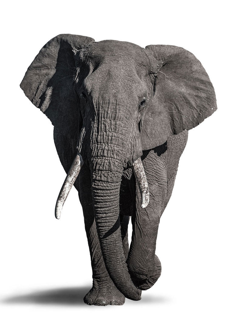 Photo reference for drawing an elephant with pencil