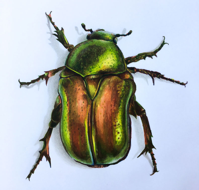 how to draw a beetle markers and colored pencils