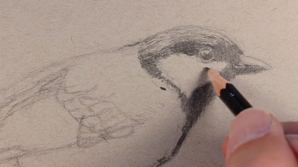 Adding darker values to the head of the bird