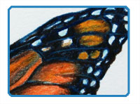Colored Pencil Butterfly Part 1