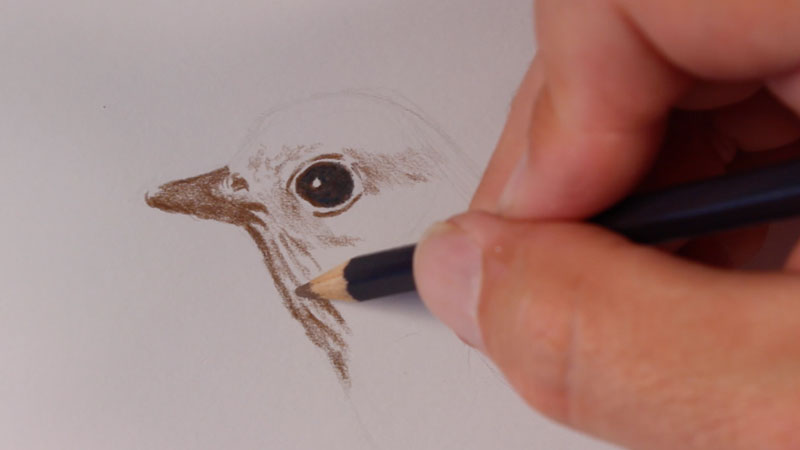 how to draw a bird colored pencils