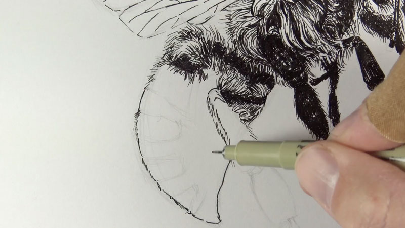 Drawing the abdomen of the bee