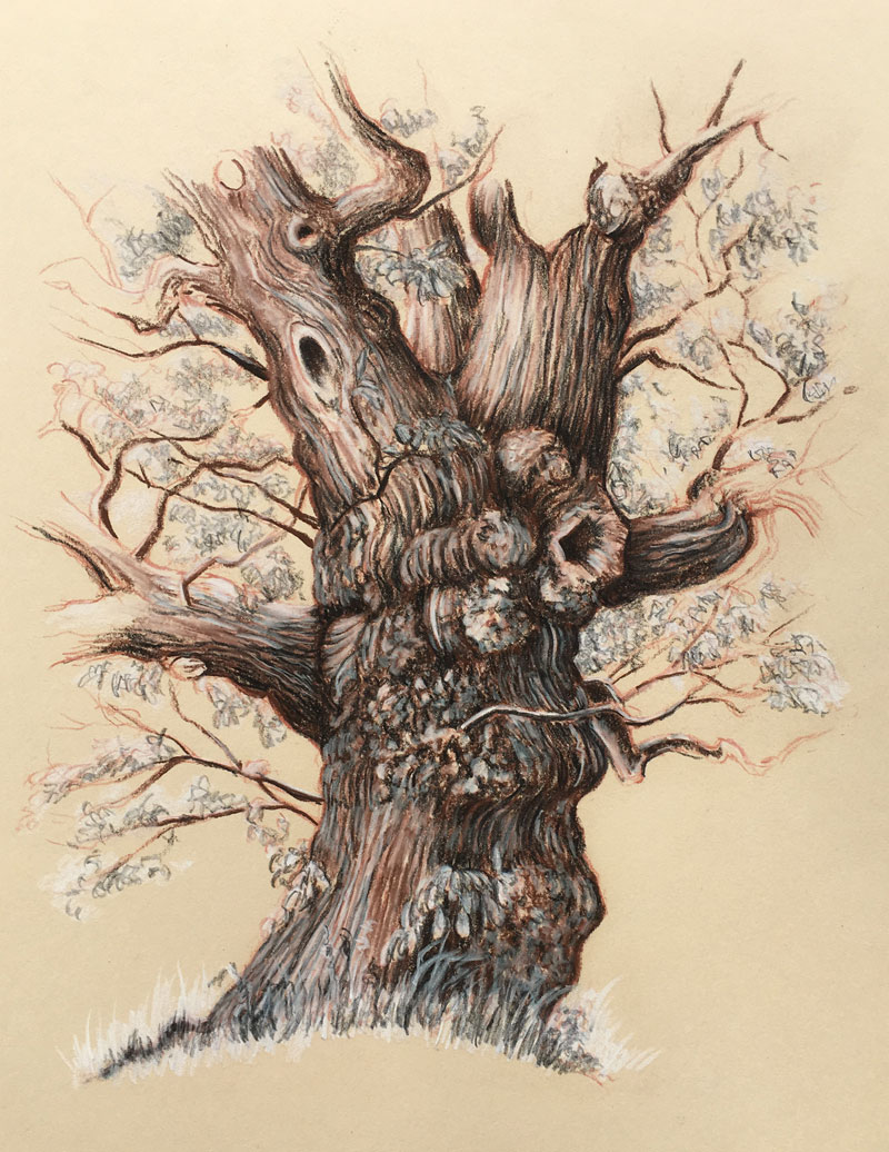 Drawing of an old tree