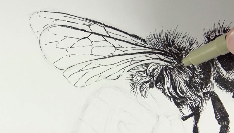 Drawing the wing of the bee