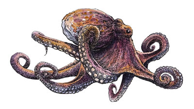 Octopus with Line and Wash