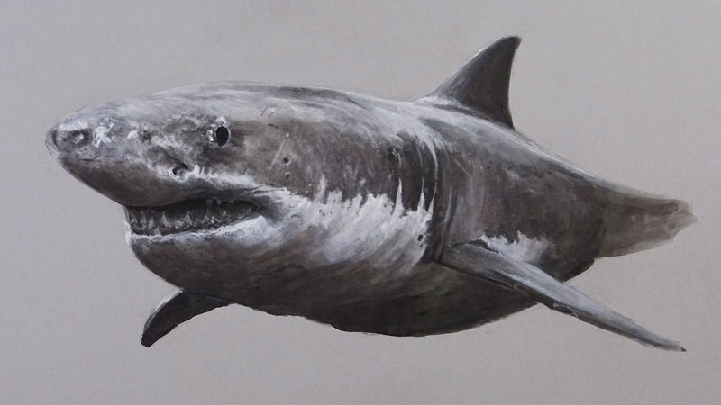 Mixed Media Drawing of a Great White Shark