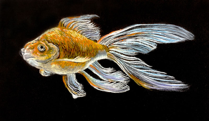 Pastel pencil drawing on black paper - goldfish