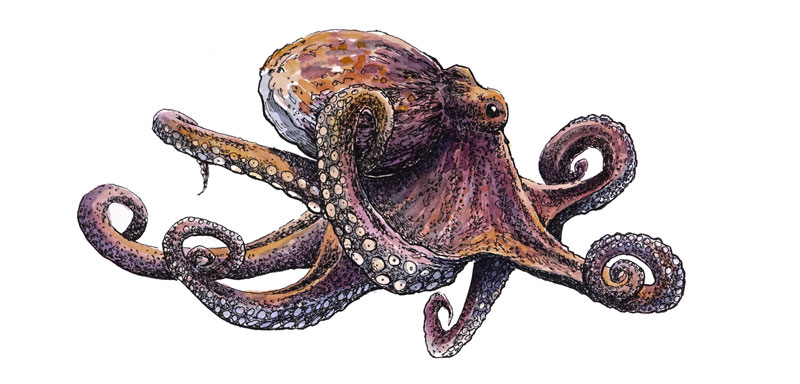 Pen and Ink Drawing of an Octopus with Watercolor