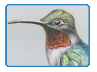 Ruby Throated Hummingbird Drawing Tutorial
