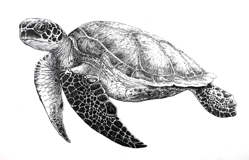 Pen and Ink Drawing of a Sea Turtle