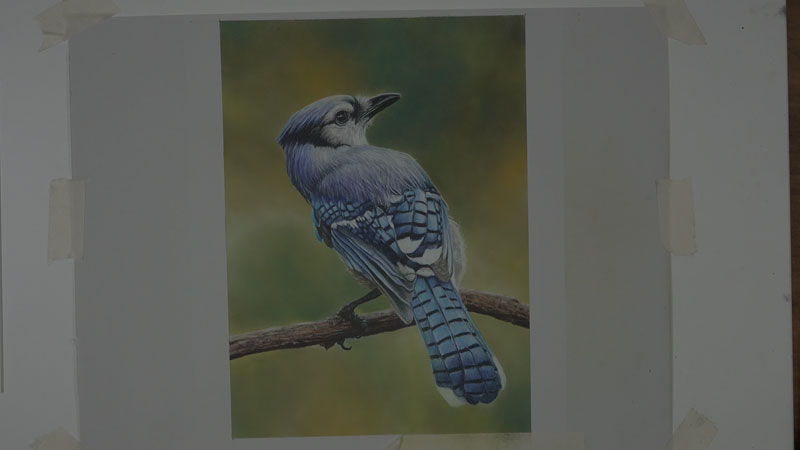 Blue Jay with Polychromos Colored Pencils Lesson 5